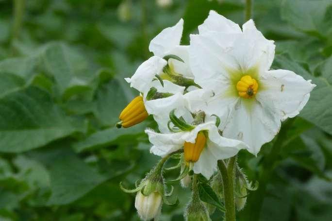 Цветочные венчики картофеля «Гала» средних размеров, молочно-белого окрашивания