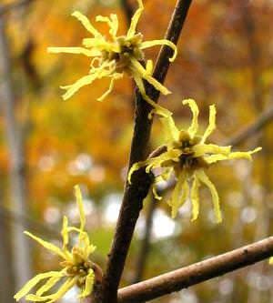 Удивительное растение — гамамелис