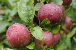 Сорт яблони «Спартан» относят к зимним сортам