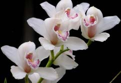 У разных видов орхидных цветение начинается исключительно с определённого возраста