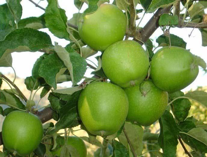 Яблоки «Гренни Смит» богаты различными витаминами, включая B6 и P