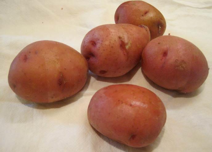 Сорт «Ирбитский» хорошо зарекомендовал себя при выращивании в недостаточно благоприятных условиях