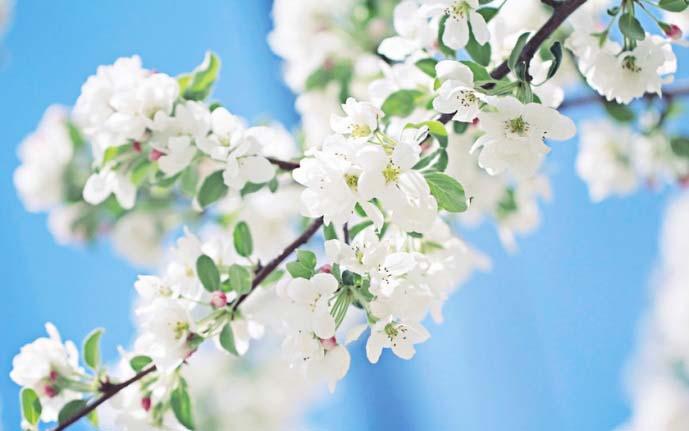 Яблоня «Спартан» обильно цветет мелким цветом
