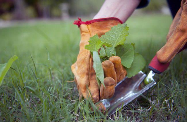 Подготовка почвы к посадке картофеля «Сынок» заключается в ручном удалении сорных растений