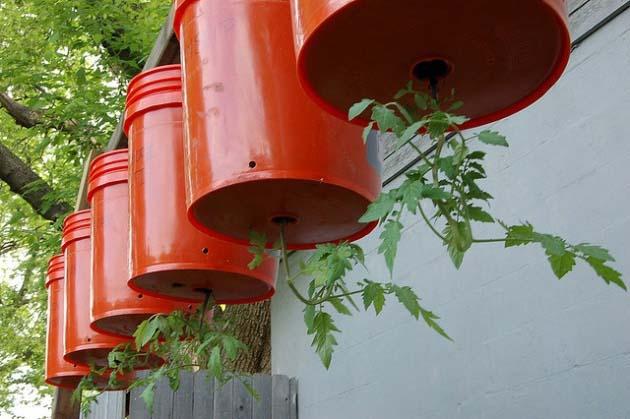 Необходимо соблюдать технологию посадки помидоров «вниз головой»