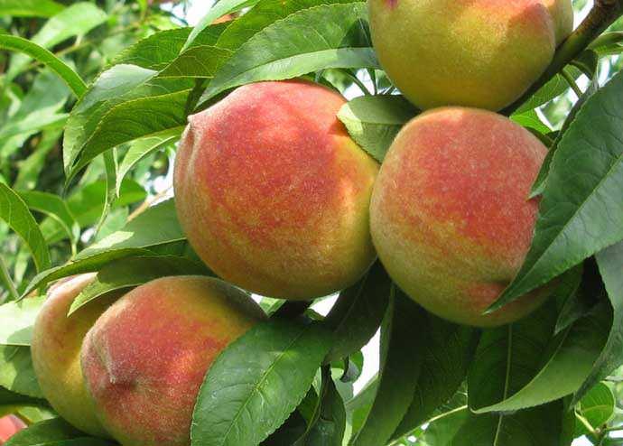 Персик «Киевский ранний» хорошо зарекомендовал себя и в промышленном выращивании, и в дачном садоводстве