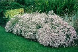 Название растения гипсофила переводится как «любящая известь»