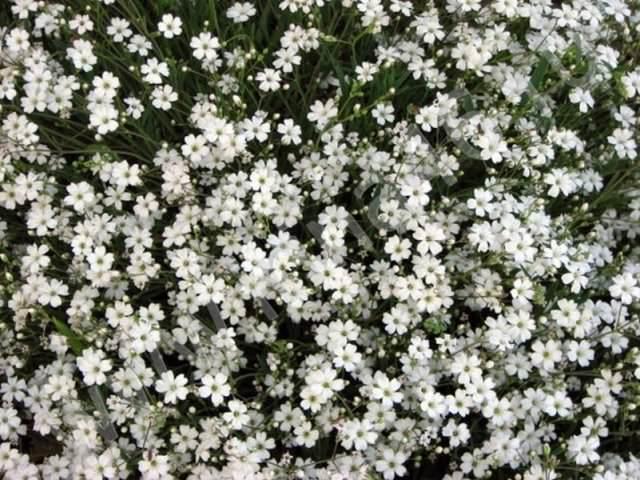 Высаживают гипсофилу ранней весной в водонепроницаемую почву