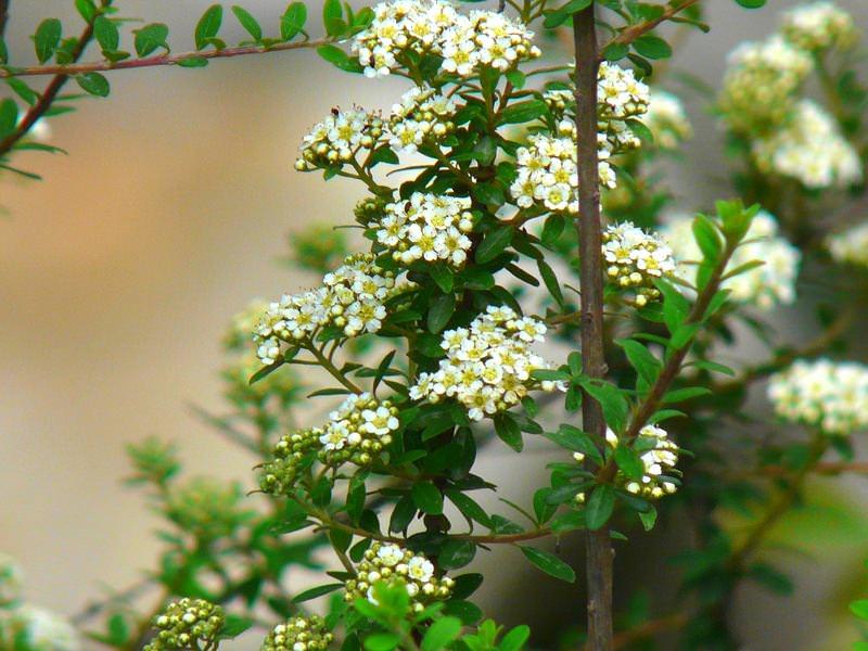 Одним из таких растений для бордюров является карликовая спирея