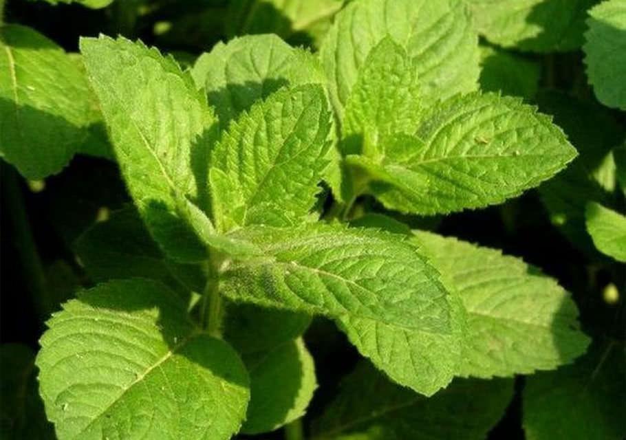 Использование таких пряных растений как мята, душица или петрушка – отличная идея