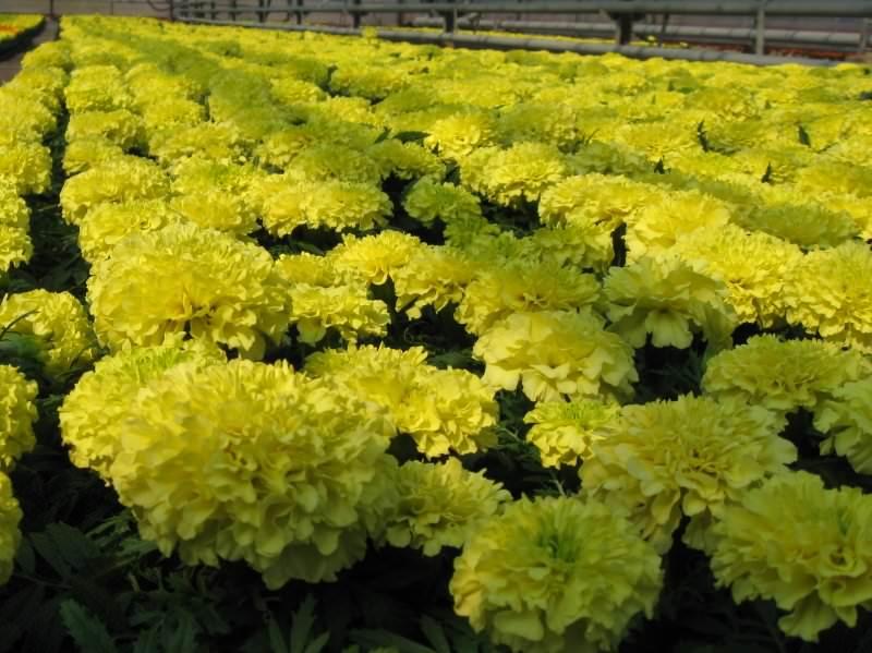 Бархатцы – одни из самых популярных однолетних растений, которые используются для создания бордюров