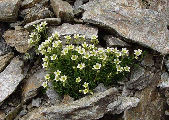 Камнеломка селится в расщелинах скал и своими корнями разрушает горную породу