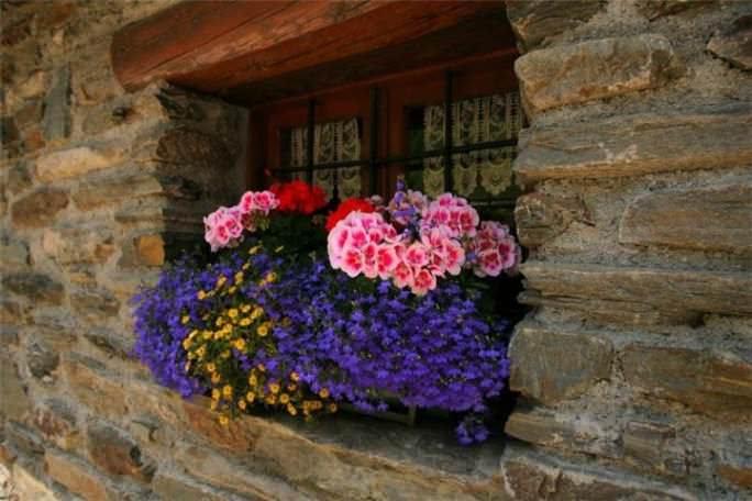 Применение вербены может вестись с любыми цветами, которые хорошо чувствуют себя на балконе или веранде