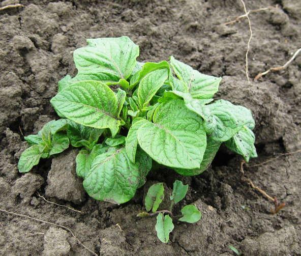 Сразу после появления всходов картофеля «Скарб» следует выполнить рыхление междурядий и окучивание ботвы