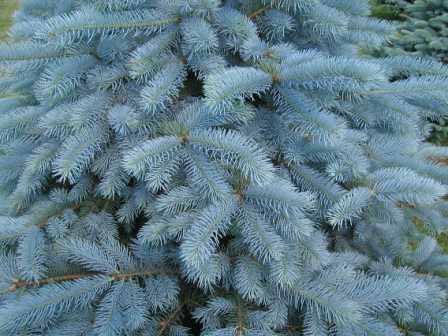 Ухаживайте за всходами голубых елей и соблюдайте агротехнику