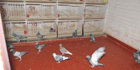 Хотите завести на даче голубей? Заранее подумайте о постройке голубятни!