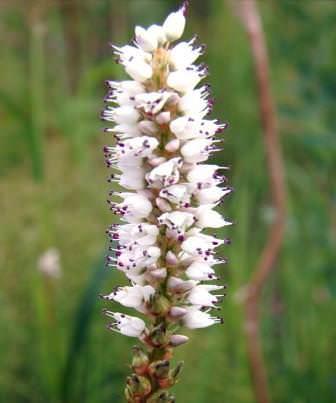 Горец живородящий – может размножаться луковичкам, которые образуются вместо цветочков