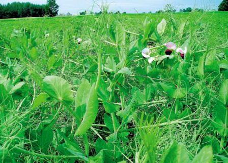При посадке гороха важно не только понимать агротехнику и обеспечивать должный уход, но и предварительно выбрать соответствующий сорт гороха