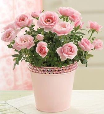Особых трудностей в уходе за домашними розами в горшках нет