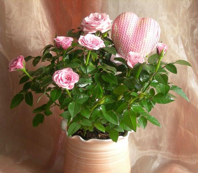 Пересаживать розу на постоянное место стоит только в тот момент, когда она полностью придет в себя
