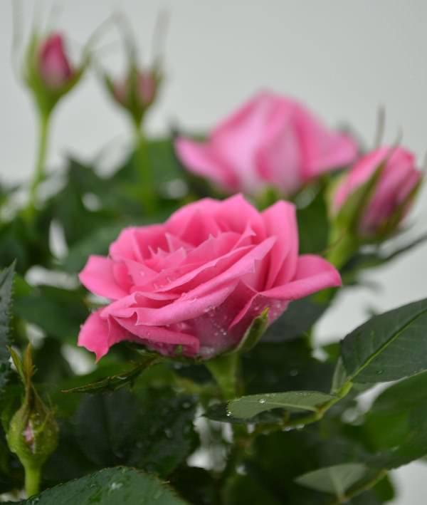 Если в летнее время вы заметили, что роза в горшке чувствует себя не очень удобно, так как успела вырасти за теплый сезон, необходимо дождаться фазы роста луны и снова пересадить розу в горшок более свободный