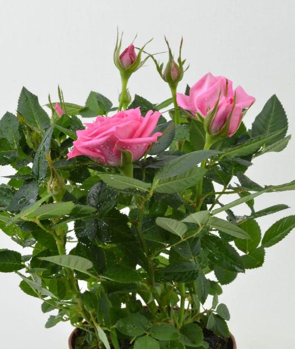 Когда летнее тепло сменяется осенней прохладой, и температура опускается ниже +15°С, чайная домашняя роза переносится с балкона в комнату