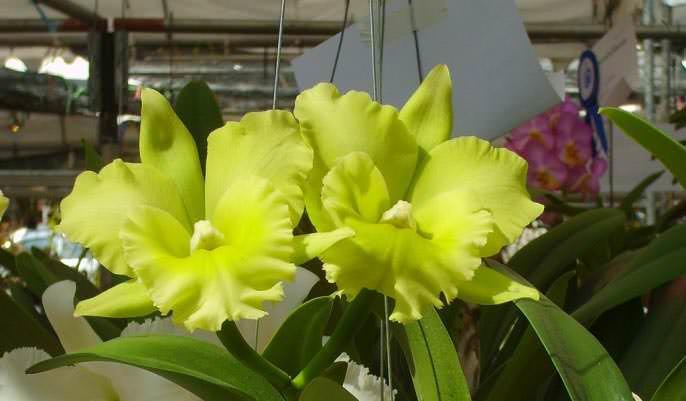 «Каттлеи» слишком капризны в уходе, что имеет немаловажное значение для малоопытных цветоводов