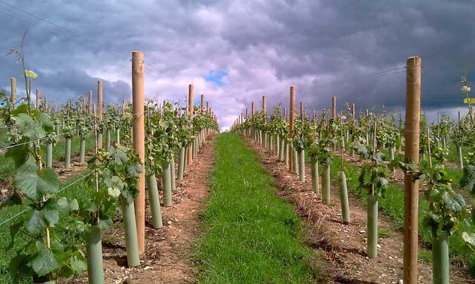 Виноградные саженцы сорта Платовский можно высаживать не только в весенний период, но и осенью