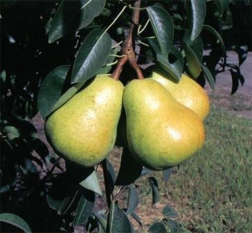 Летние сорта груш порадуют вас ароматными плодами еще в теплый сезон