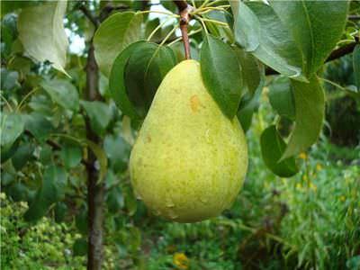 Зимние сорта груш — сочные плоды в завершении сезона