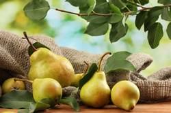 Груша одно из самых популярных плодовых деревьев