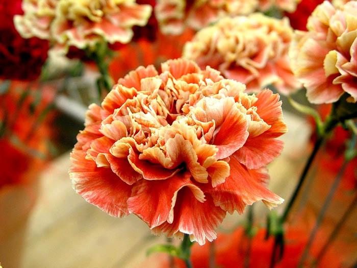 Ремонтантные сорта гвоздики (их особенность – цвести более одного раза в году)