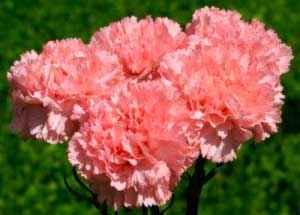 Встречаются виды как с одиночными цветками, так и соцветиями
