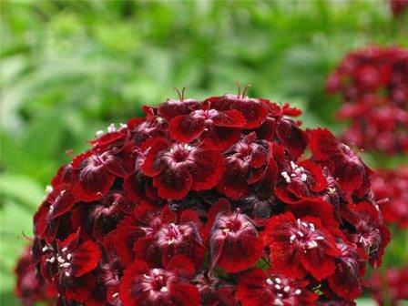 Сорта гвоздики отличаются, в том числе и по периодам цветения, длине цветоноса, форме, цвету и махровости лепестков