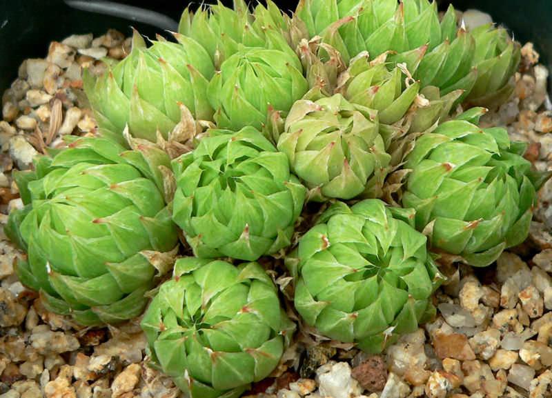 Растение предпочитает хорошее, даже яркое освещение, но не на прямых солнечных лучах