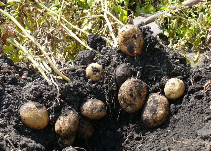 После сбора урожая картофель «Импала» хорошо сохраняется