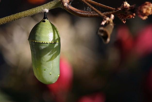 Как выращивать бабочку в домашних условиях?