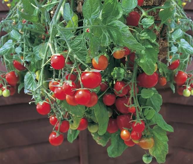 Выращивание томатов «вниз головой» не влечет за собой особых условий, сложностей в уходе