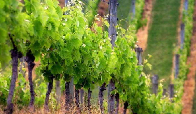 Допускается осуществление высадки саженцев сорта «Румба» на недостаточно плодородные почвы