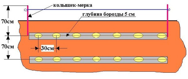 Картофель «Свитанок киевский» высаживают согласно стандартной схеме