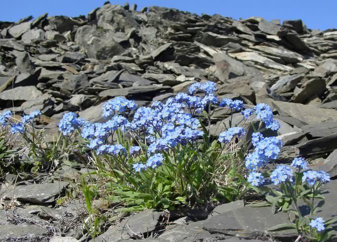 Среди многих садоводов незабудки ценятся за практически отсутствующий уход и ненавязчивую красоту небесного цветения