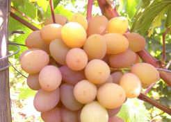 Виноград «Румба» относится к числу перспективных столовых форм