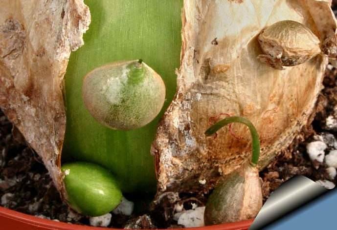 Деление луковицы – один из способов размножения индийского лука