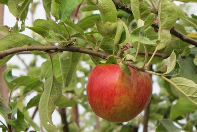 Яблоня Беркутовское, описание особенностей агротехники | 461x688