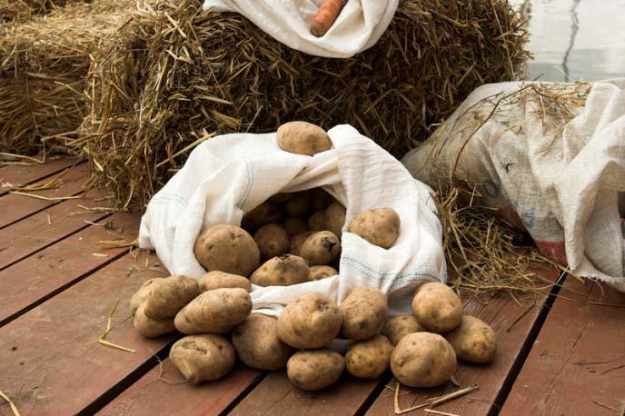 Если придерживаться технологии посадки и выращивания картофеля под сеном, то высокие урожаи не заставят себя ждать