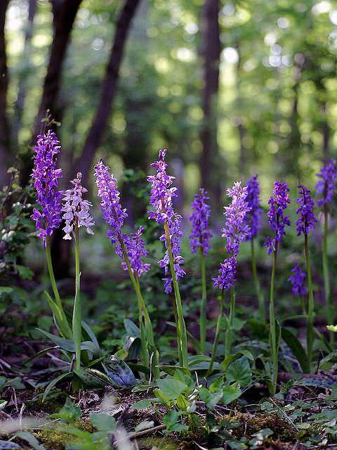 Растение не подвержено болезням и вредителям, выглядит привлекательно и широко применяется в медицине