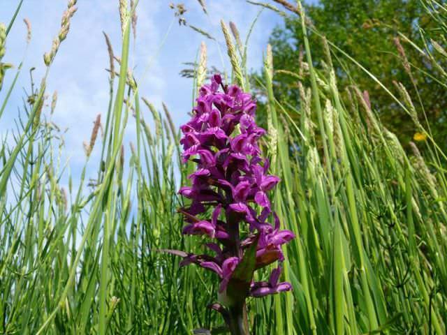 Ятрышник представляет собой уникальное растение, произрастающее на лугах и полях России