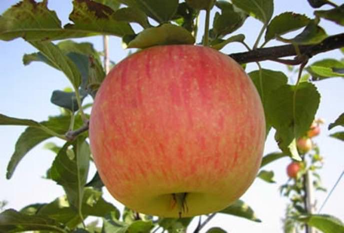 Плодовые деревья сорта «Штрифель» характеризуются сравнительной долговечностью