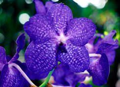 Синяя орхидея – редкий и очень привлекательный цветок