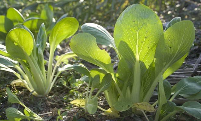 Капуста пак-чой не формирует кочаны и схожа по внешним показателям с экзотической зеленью или салатными овощными культурами
